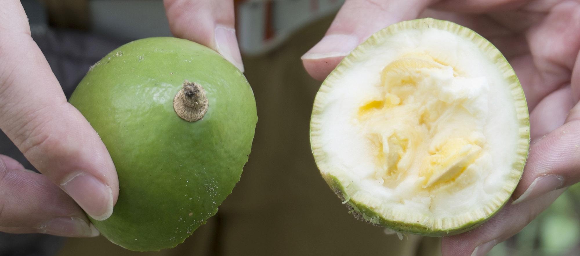 Vietnam giftige Frucht