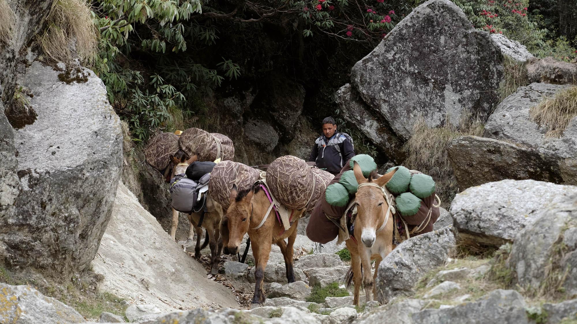 reise-ansichten Himalaya Maultiere